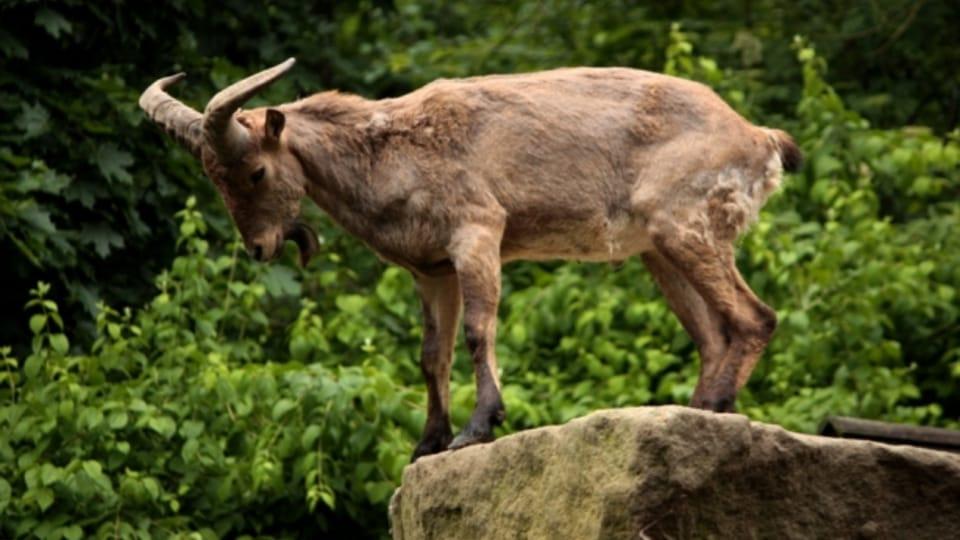 Дагестанский тур,  Фото: официальный сайт Либерецкого зоопарка