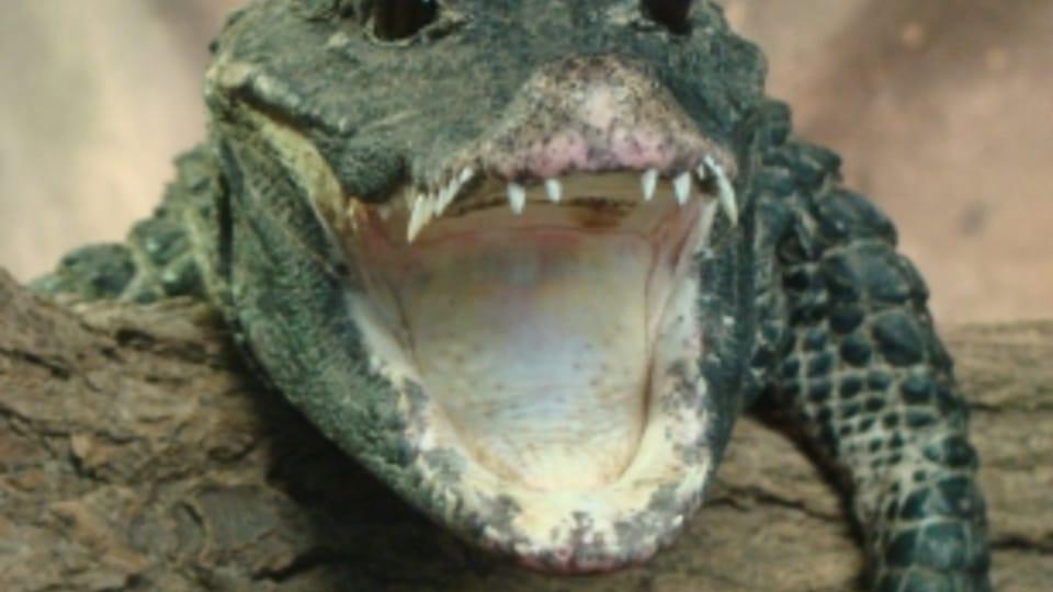 Тупорылый крокодил,  Фото: официальный сайт Либерецкого зоопарка