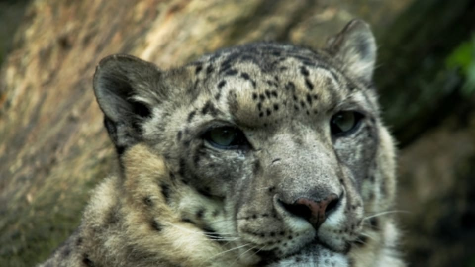 Снежный леопард,  Фото: официальный сайт Либерецкого зоопарка