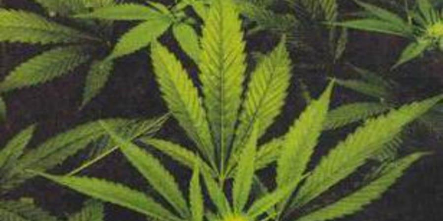 Марихуана премьер марихуана афганская